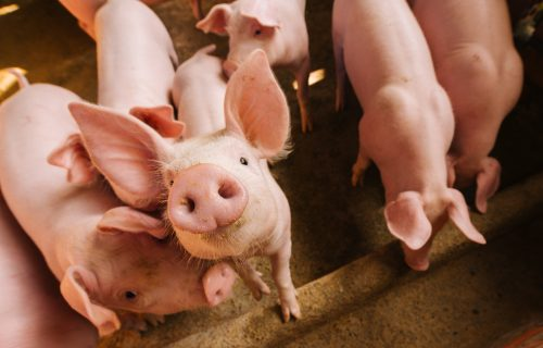 Pig genome could be edited to help with human organ transplants